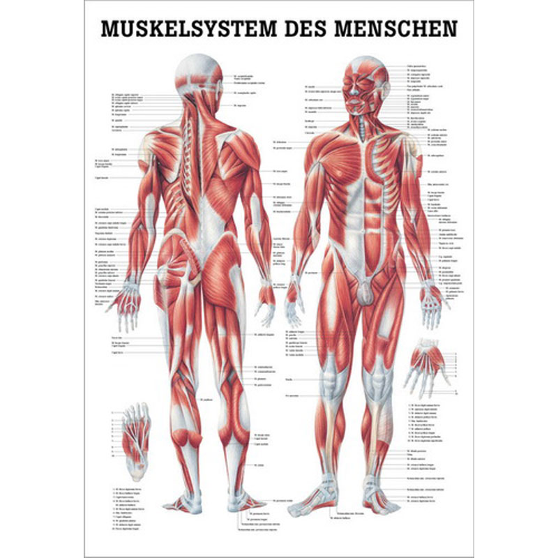 Charmant Anatomie Hüfte Und Beinmuskeln Bilder - Anatomie Ideen ...
